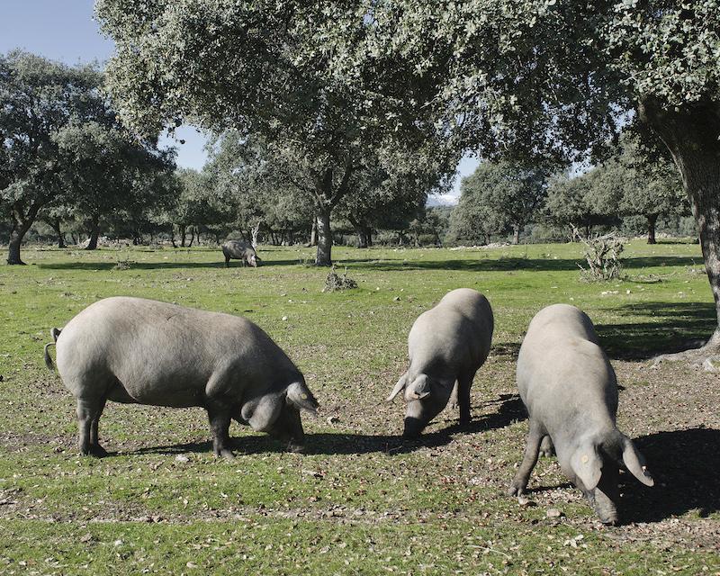 Cerdos en dehesa
