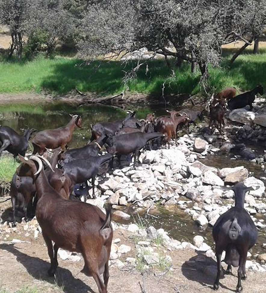 Rebaño de cabras
