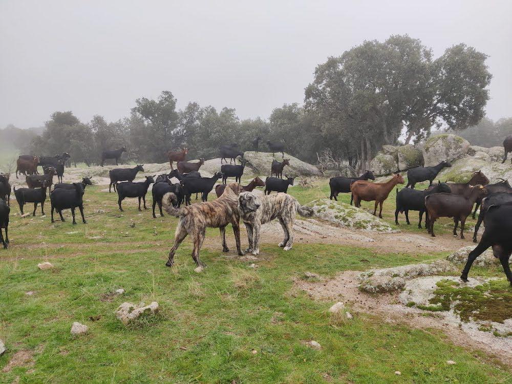 Rebaño de cabras murciano-granadinas y mastines en la granja y quesería ecológica Suerte Ampanera