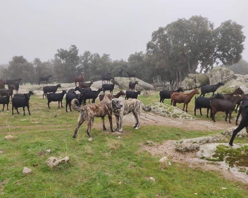 Rebaño de cabras murciano-granadinas y mastines